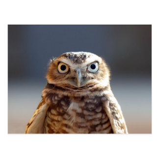 Young Burrowing Owl Postcard