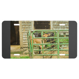 Young Calf In Fence Pen Near Barn License Plate