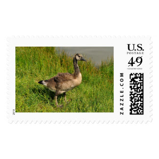Young Canada Goose Large First Class Postage