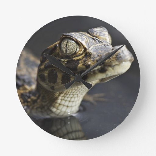 Young cayman in water with reflection round wall clocks