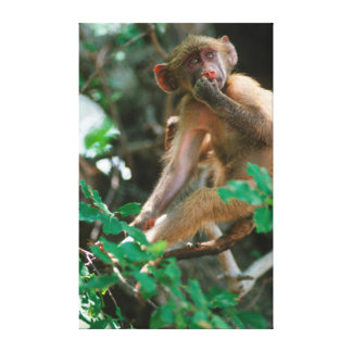 Young Chacma Baboon (Papio Ursinus) Sitting Gallery Wrapped Canvas