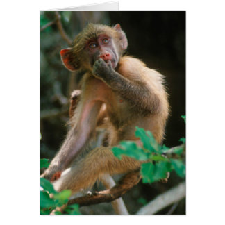 Young Chacma Baboon (Papio Ursinus) Sitting Cards