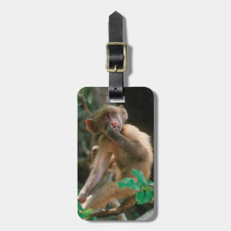 Young Chacma Baboon (Papio Ursinus) Sitting Tags For Bags