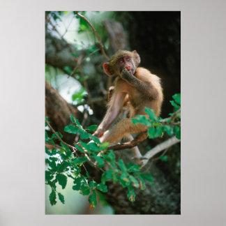 Young Chacma Baboon (Papio Ursinus) Sitting Poster