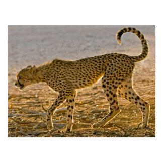 Young Cheetah (Acinonyx Jubatus) Stalks Post Cards