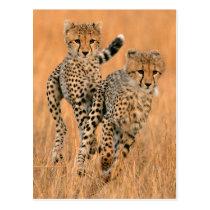 Young Cheetahs (Acinonyx Jubatus) Running Postcard