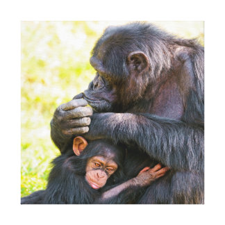 Young Chimp With Male Canvas Print