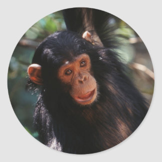 Young Chimpanzee hanging at forest Classic Round Sticker