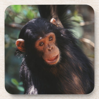 Young Chimpanzee hanging at forest Coaster