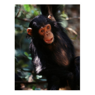 Young Chimpanzee hanging at forest Postcard