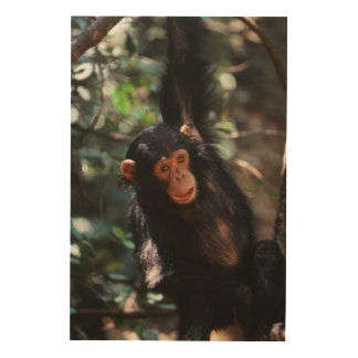 Young Chimpanzee hanging at forest Wood Print