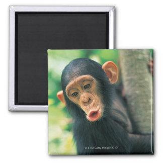 Young Chimpanzee (Pan troglodytes) Magnet