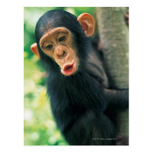 Young Chimpanzee (Pan troglodytes) Postcard