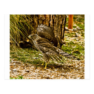 Young Coopers Hawk Postcards