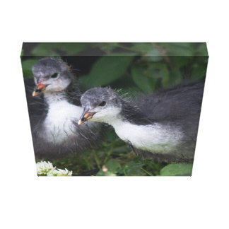 Young Coots Canvas Print