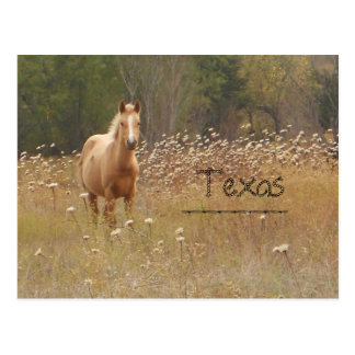 Young Country Horse Texas Postcard