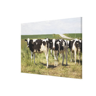Young Dairy Cattle In Pasture Canvas Print