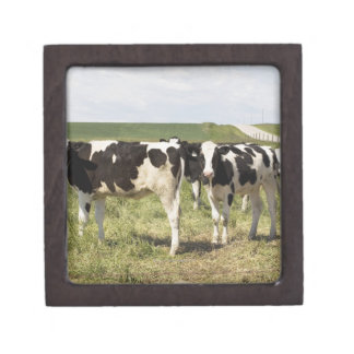 Young Dairy Cattle In Pasture Premium Trinket Boxes