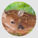 Young_Deer_Fawn-1 Classic Round Sticker