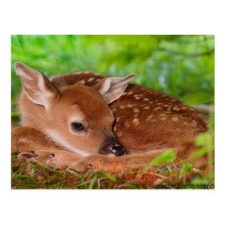 Young_Deer_Fawn-1 Tarjeta Postal