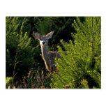 Young Deer in Pine Trees Postcard