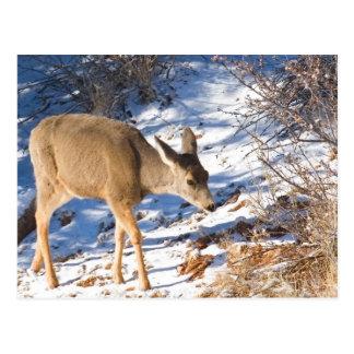 Young Deer in Snow Postcard