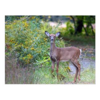 Young Deer Postcard