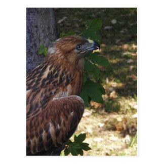 Young Eagle Postcard