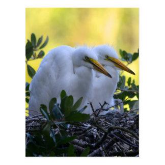 Young Egret Chicks Postcard