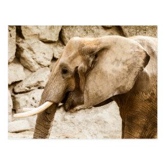 Young Elephant - Postcard