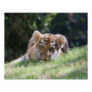 Young Female Tiger Cub is Just One of the Boys Poster