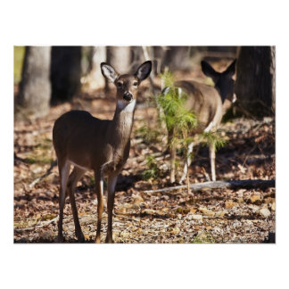 Young Female Whitetail Deer Doe Poster
