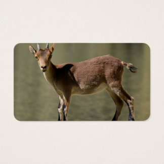 Young female wild goat, Iberian ibex, Spain Business Card