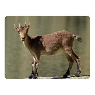 Young female wild goat, Iberian ibex, Spain Custom Announcements