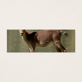 Young female wild goat, Iberian ibex, Spain Mini Business Card