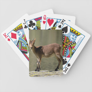 Young female wild goat, Iberian ibex, Spain Bicycle Card Deck