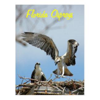 Young Florida Ospreys Postcard
