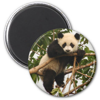 young giant panda 2 inch round magnet
