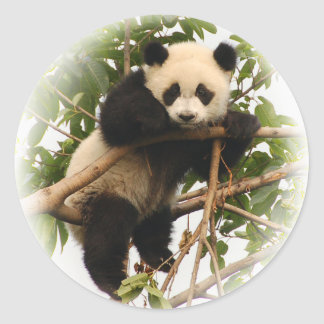 Young giant panda. classic round sticker