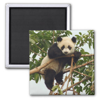 Young giant panda magnet