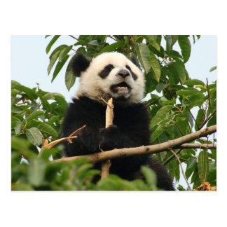 Young giant panda - postcard