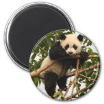 young giant panda refrigerator magnets