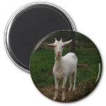 Young Goat Fridge Magnets