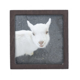 Young goat jewelry box
