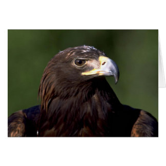 Young golden eagle greeting card