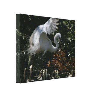 Young Great Egret Canvas Wrapped Print