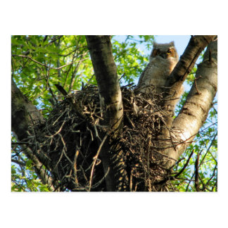 Young Great Horned Owl at Nest Postcard