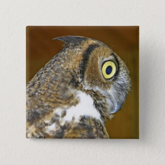 Young great horned owl indoors pinback button