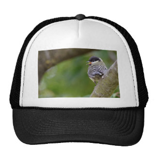 Young great passerine on branch trucker hat