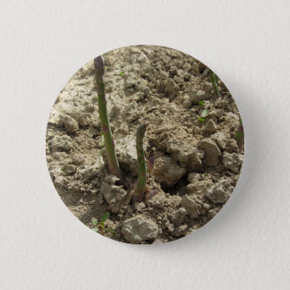 Young green asparagus sprouting from the ground pinback button